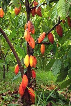 cacao-arbol