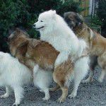animal-perro-sexo