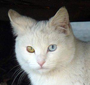 gatos-blancos-ojos-azules